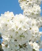 cherry-flowers